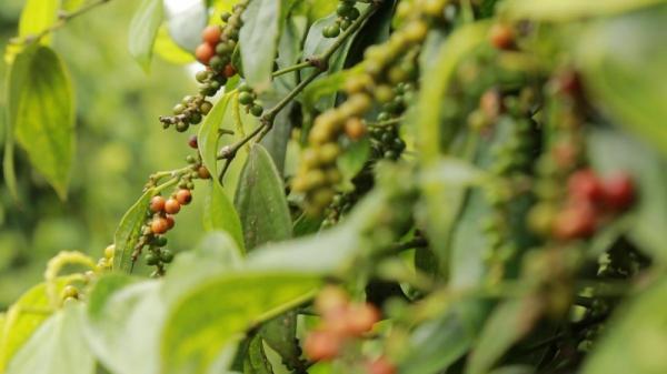 Giá tiêu hôm nay 3/3: Tiếp tục tăng, cao nhất 56.500đ/kg; nhiều vườn tại thủ phủ tiêu bị 'xóa sổ'