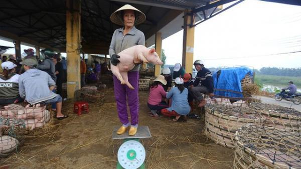 Bán heo theo cách kỳ lạ ở xứ Quảng: Bồng heo đứng lên cân ở chợ chờ người đến mặc cả