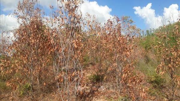 Bình Định: Ngăn chặn cháy rừng liên tiếp xảy ra khi thời tiết nắng nóng kéo dài