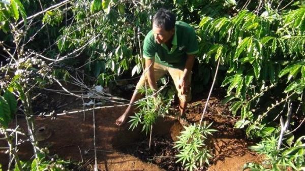 Đắk Lắk: Hàng trăm cây thuộc 'l.o.ạ.i c.ấ.m' được trồng trên rẫy cà phê