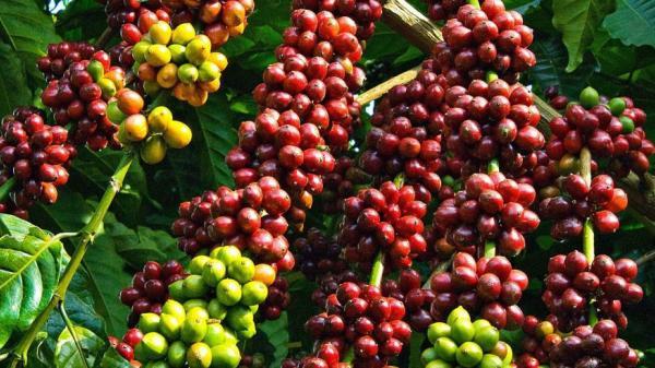 Giá cà phê hôm nay 26/11: Trong nước và thế giới đồng loạt tăng mạnh