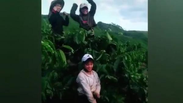 """Màn ngẫu hứng """"múa quạt"""" khi hái cà phê ở Đắk Lắk khiến dân mạng thích thú"""