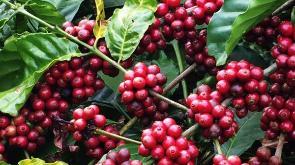 Giá cà phê hôm nay 14/2: Tăng 300 đồng/kg sau đà giảm sâu