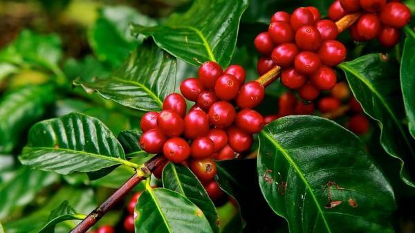 Giá cà phê hôm nay 3/3: Tăng nhẹ 200 đồng/kg, thị trường hồi phục