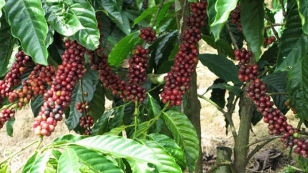Giá cà phê hôm nay 1/6: Bắt đầu tăng trở lại