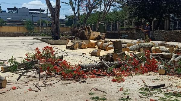 Đắk Lắk: Rà soát cưa cắt nhiều cây phượng trong trường học