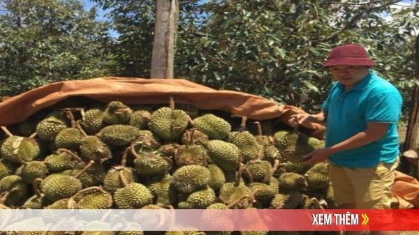 Đắk Lắk: Lốc xoáy làm hàng ngàn cây sầu riêng bị rụng quả
