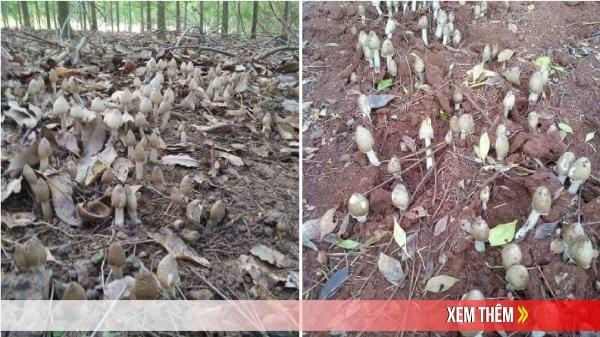 Đắk Lắk: Gần triệu một cân nấm mối, không có mà mua