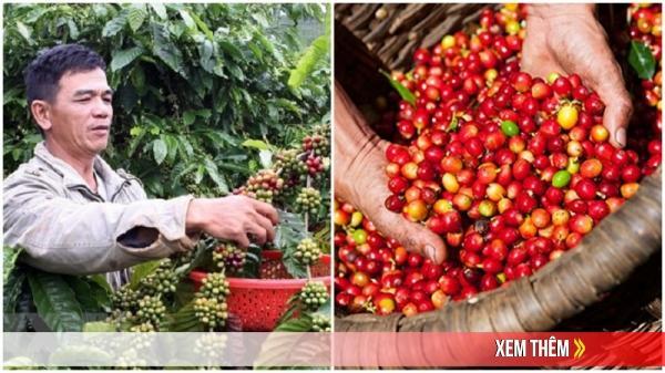 Giá cà phê hôm nay 22/6: Dự báo tăng mạnh trong tuần mới