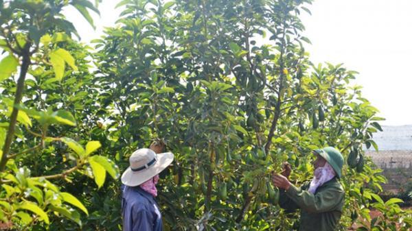 Đắk Lắk: Đáng buồn, bán 1 ký bơ không mua női 2 gói mì tôm, nông dân lúng túng với vònɡ quay 'trồng-chặt'