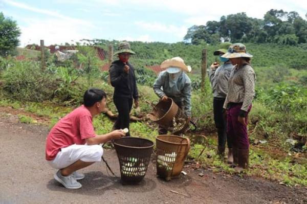 Đắk Nông: Xót hết cả ruột-hái măng le đặc sản bẻ sạch, cắt sạch, xới tung lên