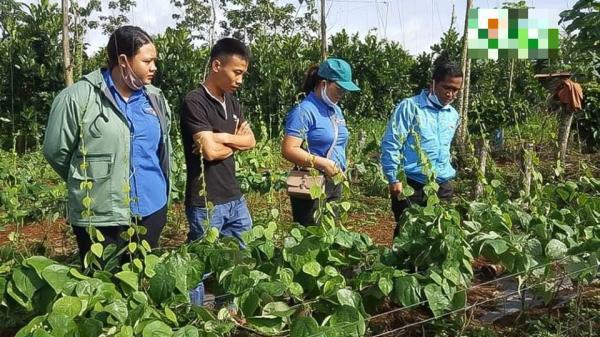 Đắk Nông: Người dân hái ra tiền nhờ trồng sương sâm