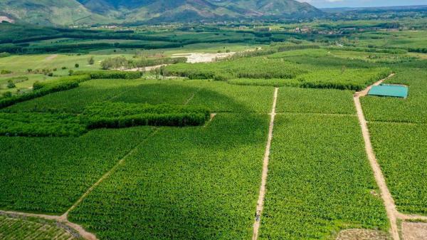 Cánh đồng chuối Nam Mỹ trên vùng đất cát ở Quảng Ngãi
