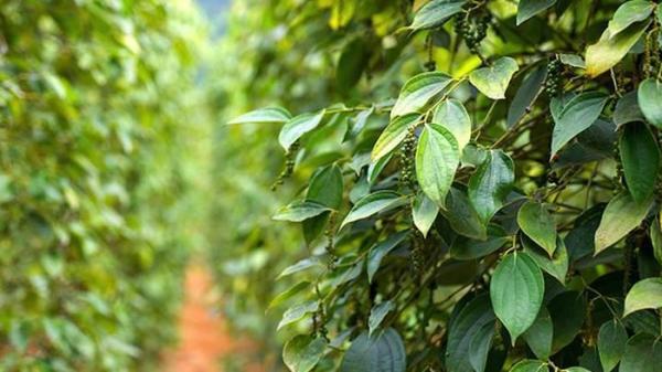 Giá tiêu hôm nay 12/11: TĂNG LIÊN TỤC tại Đắk Lắk và các tỉnh, áp sát đỉnh mới, nông dân phấn khởi vô cùng