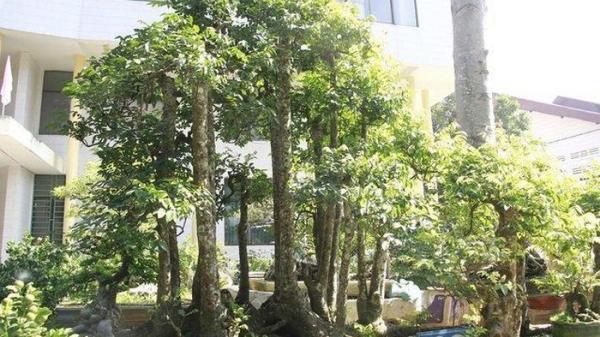 Giới chơi cây cảnh choáng váng cây khế 'kỳ quái' có 19 thân ở Đắk Lắk