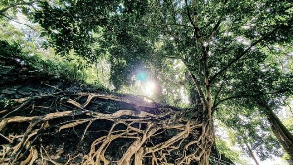 Bộ rễ cổ thụ đồ sộ, uốn lượn độc đáo hút giới trẻ check-in ở Đắk Lắk