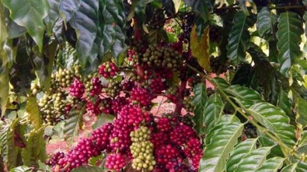 Giá cà phê hôm nay 28/12: Cung giảm, cầu tăng và chờ đợi từ cú hích 2.300 tỷ USD