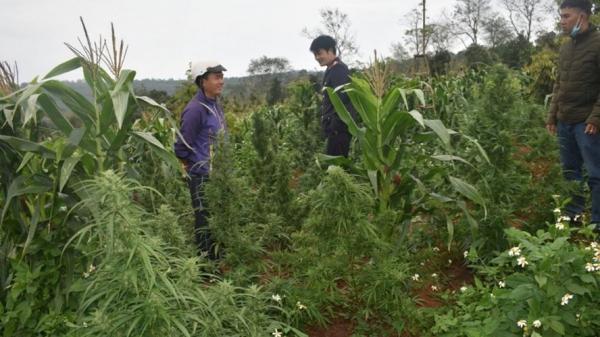 Đắk Lắk: ρн.á.т нι.ệ.и người đàn ông trồng hơn 200 cây ɕ.ầ.ռ ꜱ.ɑ trong rẫy