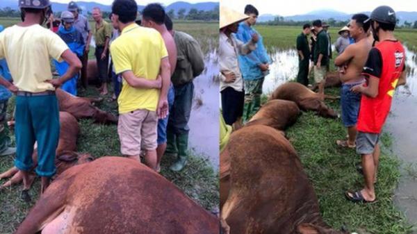 Bị sét đánh, 1 người nguy kịch, 6 con bò bị chết