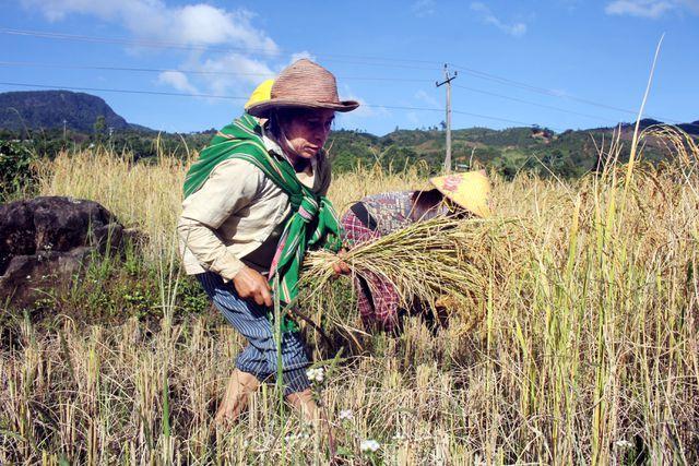 Từ xa xưa, bà con đồng bào Xê Đăng đã biết trồng lúa 2 vụ và làm ruộng bậc thang để dẫn nước