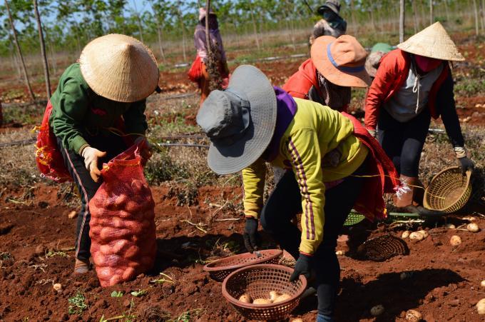 Sản lượng khoai tây vụ đông năm 2020 tại huyện Chư Sê, Gia Lai đạt bình quân 30 tấn /ha.